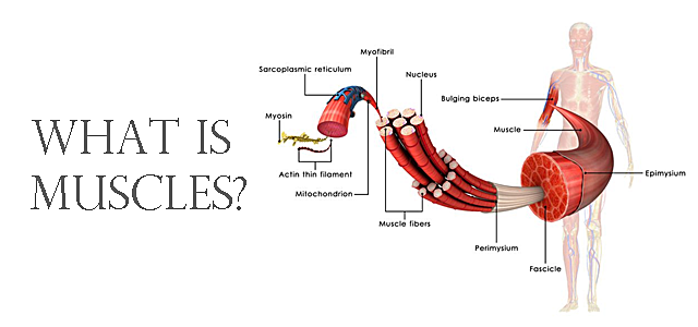 人の筋肉の構造や種類をどこよりも分かりやすく解説します!